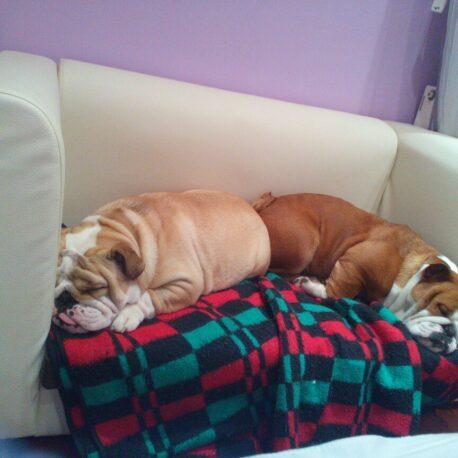 Sofas- para- perros – Bulldog- Ingles