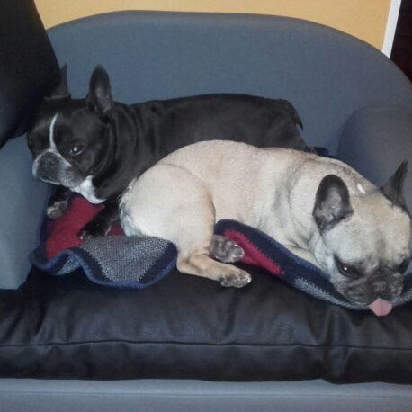 sofa -para- perros-bulldog -frances-modelo- Borrys